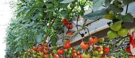 El Imida investiga cómo lograr tomates con más compuestos ... - La Razón | Aprendiendo Botánica en la escuela | Scoop.it