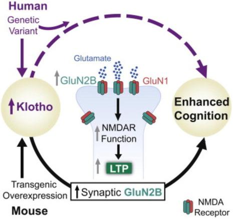 Anti-aging gene also enhances cognition   Conciencia Colectiva   Scoop.it