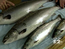 Genetically-Modified Salmon May Be Coming — With No IdentifyingLabels | Food issues | Scoop.it