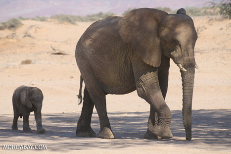 Zambia ends trophy hunting ban, elephants fair game | The Wild Planet | Scoop.it