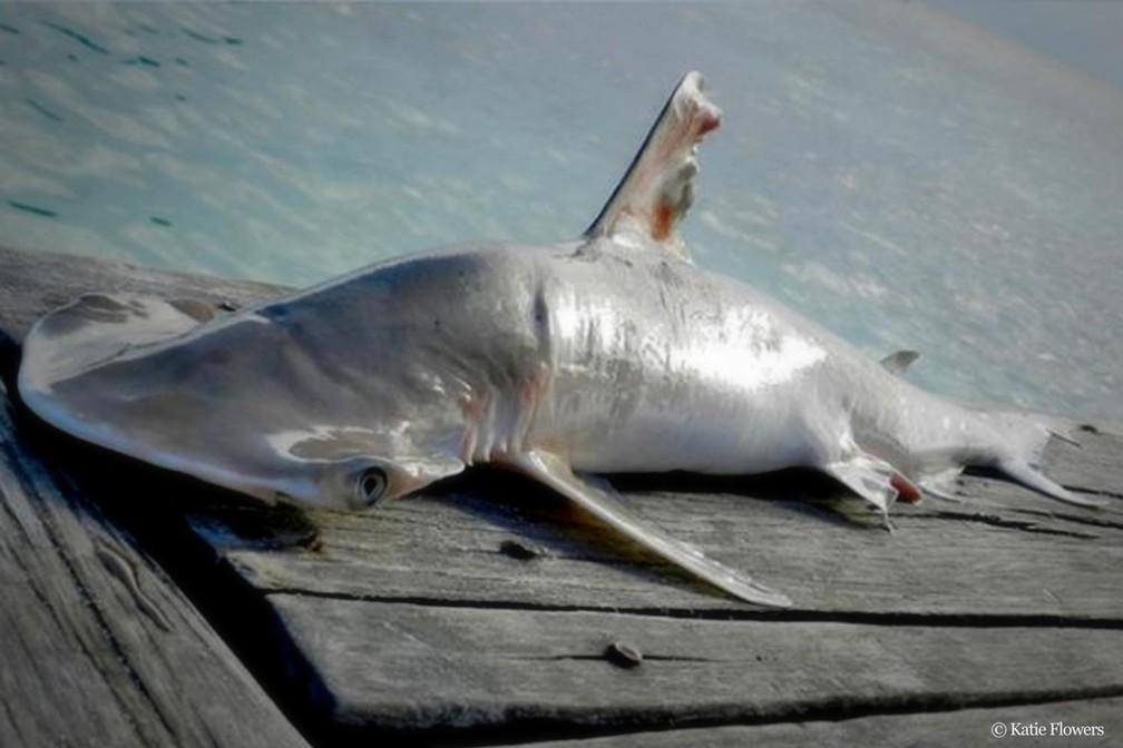 Descubierta una nueva especie de tiburón...