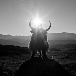 Yaks Are Returning to Tibet, but Does Climate Change Pose Further Risks? | Extinction Countdown, Scientific American Blog Network | Sustain Our Earth | Scoop.it