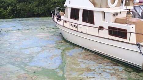 Thick, Putrid Algae Bloom Overwhelms Miles Of Florida Coastline | Understanding Water | Scoop.it