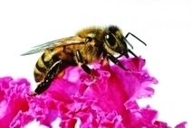 Bee Deaths And Seed Treatments | March 26, 2012 Issue - Vol. 90 Issue 13 | Chemical & Engineering News | Pollinators: a plant focus, for backyards | Scoop.it
