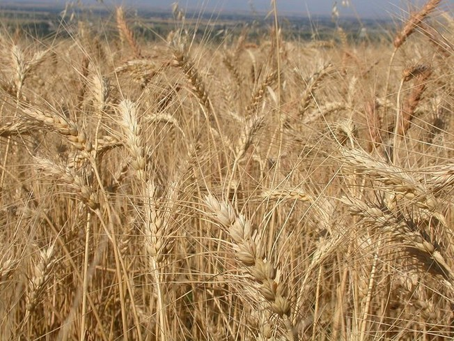 Morocco to suspend soft wheat customs duty on Nov. 1