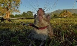 US funding new soldiers in wildlife trafficking war: giant rats | Wildlife Trafficking: Who Does it? Allows it? | Scoop.it