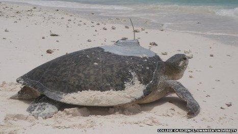 Sea turtle migrates 2,472 miles | Information sur les océans | Scoop.it