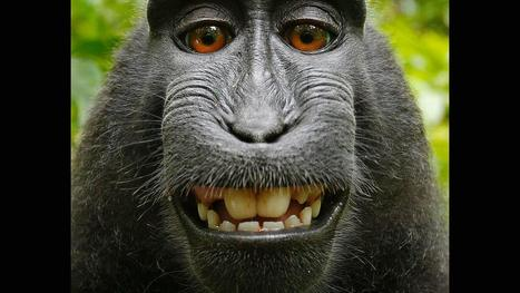 Who owns this monkey's selfie? | Learning and Performance Professional Development | Scoop.it