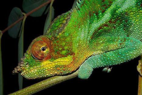 Chameleon's colour magic revealed | this curious life | Scoop.it