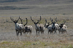 Drilling continues on critical Alberta caribou habitat despite recovery deadline - Globalnews.ca | Earth Rangers' Science Content | Scoop.it