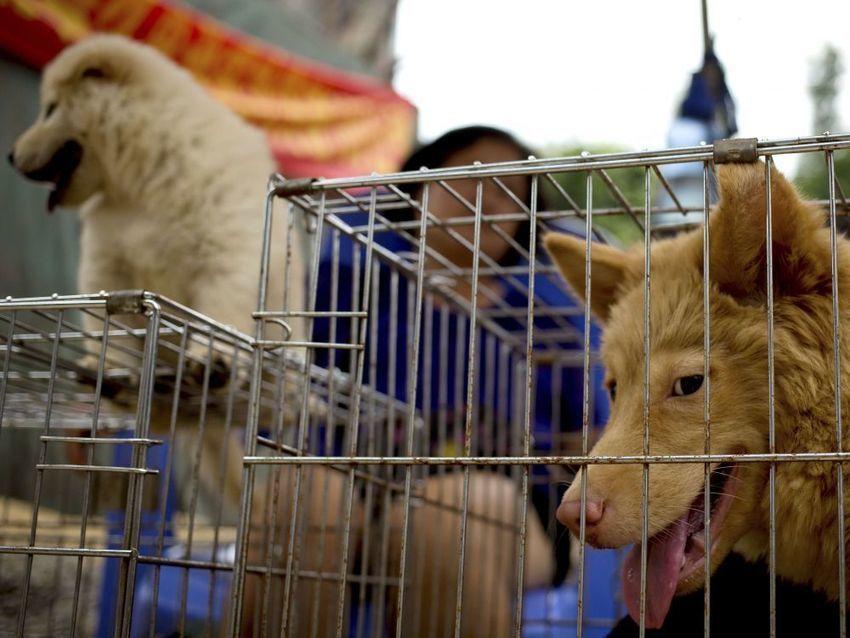 La vente de viande de chien interdite au festival chinois de Yulin