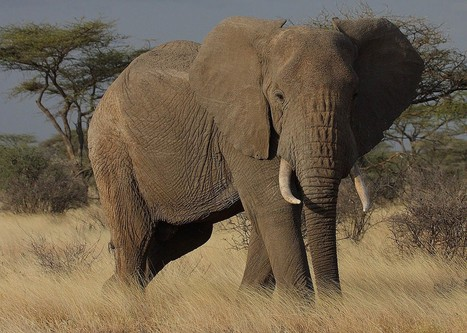 Elephant Refuses To Be Poached, Survives Fourth Attack | Elephants In Peril | Scoop.it