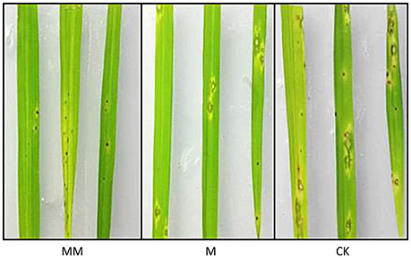 Transcriptional Profiling of Rice Treated with MoHrip1 Reveal the Function of Protein Elicitor in Enhancement of Disease Resistance and Plant Growth | Rice Blast | Scoop.it