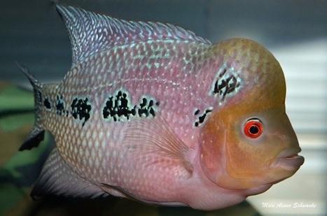 Harga Ikan Louhan Cencu Mutiara Terbaru 2018