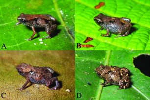 World's Smallest Frogs | AJC's Frogroom | Scoop.it