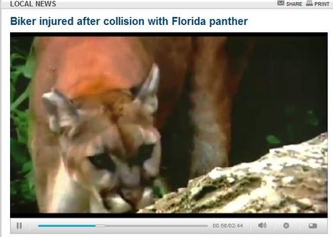 Video | WSVN-TV - Ducati Biker injured after collision with Florida panther | Ductalk Ducati News | Scoop.it