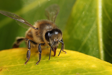 Honey bee #1 | Flickr - Photo Sharing! | Colony Collapse Disorder | Scoop.it