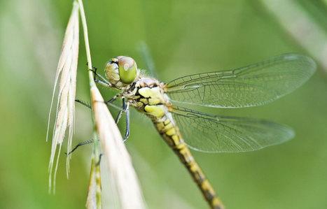 Les libellules prennent la clé des villes | EntomoNews | Scoop.it