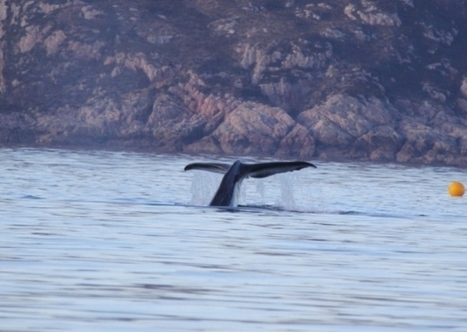 Sperm whale pod seen off west coast for first time - Heritage - Scotsman.com | All about water, the oceans, environmental issues | Scoop.it
