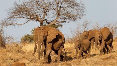 Les éléphants du Mozambique menacés de disparition | Biodiversité & Relations Homme - Nature - Environnement : Un Scoop.it du Muséum de Toulouse | Scoop.it