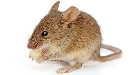 Chewing found to boost immune system in mice | Longevity science | Scoop.it
