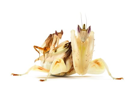 Praying Mantis Looks Like a Flower—And Now We Know Why | Biodiversity protection | Scoop.it
