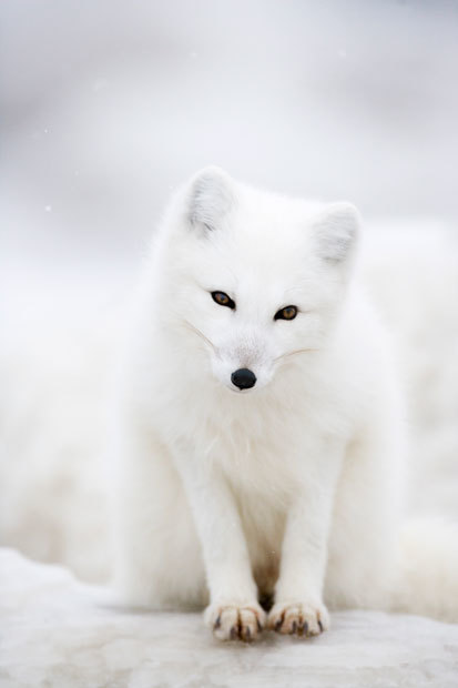 White on white: Arctic foxes in Canada photographed by Anna Henly - Telegraph | 100 Acre Wood | Scoop.it