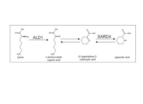Characterization of a pipecolic acid biosynthesis pathway required for systemic acquired resistance | Plant-microbe interaction | Scoop.it