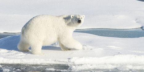 Barack Obama dévoile un plan pour protéger les ours polaires | Biodiversité & Relations Homme - Nature - Environnement : Un Scoop.it du Muséum de Toulouse | Scoop.it
