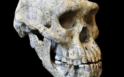 Unique skull find rebuts theories on species diversity in early humans | Biosciencia News | Scoop.it