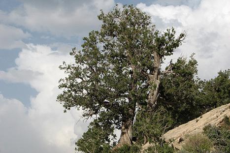 Ziarat's Juniper Forest Declared Biosphere Reserve ‹ Newsweek ... | ayubia national park | Scoop.it