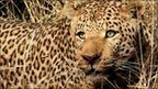 In pictures: Keeping big cats at bay   Cats Rule the World   Scoop.it