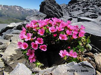 El cambio climático hace peligrar al 60% de las especies vegetales del Pirineo | Vallée d'Aure - Pyrénées | Scoop.it