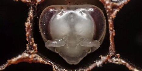 Nature : la naissance d'une abeille | Abeilles, intoxications et informations | Scoop.it