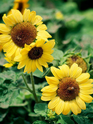 Growing Sunflowers that Delight and Amaze | Gardening is more than Digging the Dirt | Scoop.it