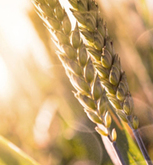 Bayer, Chinese Academy of Agricultural Sciences collaborate to improve wheat yields | Wheat World | Scoop.it