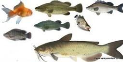 Great Fish to Grow in an Aquaponics Set-Up | Aquaponics Source | Scoop.it