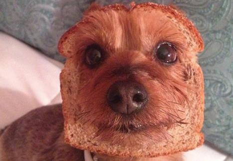 Entourer la tête de son chien avec du pain de mie : la compilation parfaite pour décompresser un bon coup   Trollface , meme et humour 2.0   Scoop.it