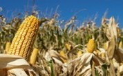 Hungary Destroys Monsanto GMO Corn Fields | Human Geography- Agriculture | Scoop.it