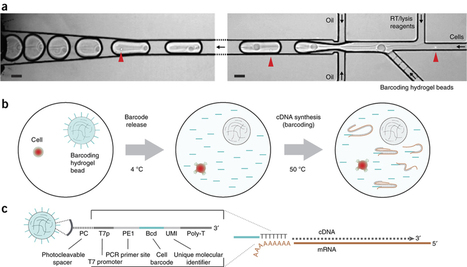 Single-cell barcoding and sequencing using droplet microfluidics | RNA-Seq Blog | Tools and tips for scientific tinkers and tailors | Scoop.it