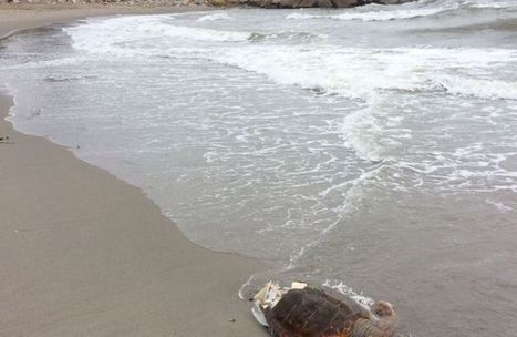 Marine experts ponder turtle findings – Gibraltar Chronicle #Investorseurope offshore stockbrokers Gibraltar   Investors Europe, Gibraltar   Scoop.it