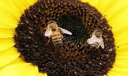 Decline of bees poses potential risks to major crops, says UN | Sustainable Futures | Scoop.it