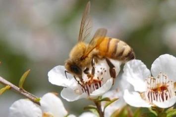 Australie-Nouvelle-Zélande: la guerre des miels est déclarée | ABC (Australie) | Kiosque du monde : Océanie | Scoop.it