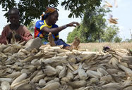 New Agriculturist: Developments - Drought tolerant maize in Mali   The Agrobiodiversity Grapevine   Scoop.it