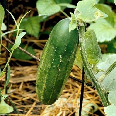 The Best Way to Pick Cucumbers | Backyard Gardening | Scoop.it