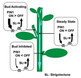 PLOS Biology: Strigolactone Can Promote or Inhibit Shoot Branching by Triggering Rapid Depletion of the Auxin Efflux Protein PIN1 from the Plasma Membrane | Plant Gene Seeker -PGS | Scoop.it