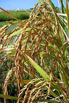 New Rice Varieties Offer Benefits to Growers / October 31, 2011 / News from the USDA Agricultural Research Service | Africa and Beyond | Scoop.it