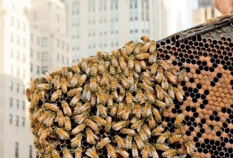 Why Are Illinois's Honeybees Dying? It's Complicated | Vegetable Gardening Resources | Scoop.it
