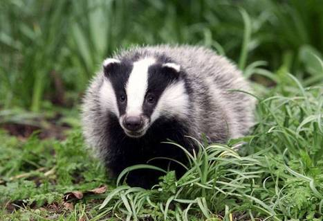 Vaccine breakthrough may mean no more badger culls | Conservation & Environment | Scoop.it