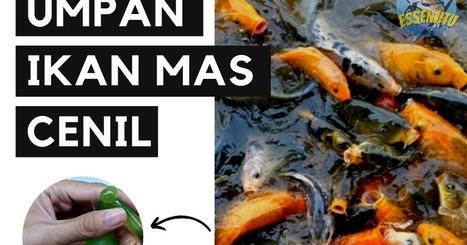Umpan Ikan Mas In Hobbies Scoop It